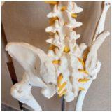 骨盤調整と骨盤矯正はどう違うのか?